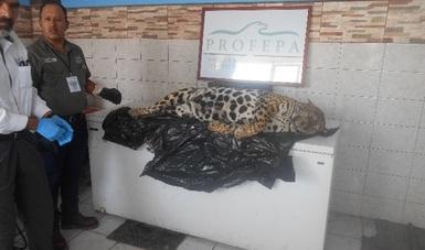 Encuentran un Jaguar Muerto En Nayarit, la PROFEPA interpuso una demanda por delito contra la biodiversidad
