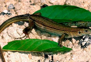 Especies de lagartijas amenazadas por los seres humanos