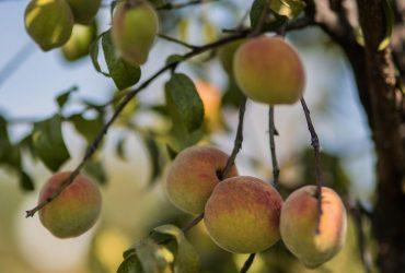 Busca Sedagro impulsar exportación de cultivos frutales