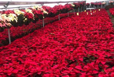 Morelos, líder nacional en producción de flor de nochebuena